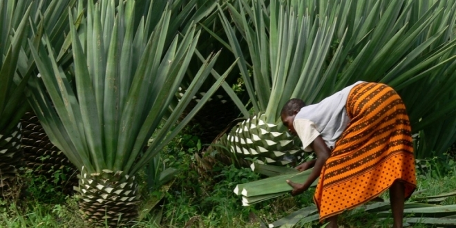 Sisal Board unveils plan to invest more in farmers
